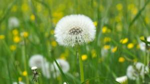 dandelion-field-flora-159081